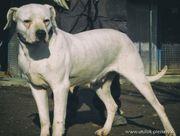 AURYN Dogo Argentino-Mix - Listenhund