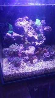 Nano Meerwasser-Aquarium 8L inkl Korallen