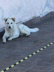 Hund Rüde Maremmen Abruzzen Schäferhund