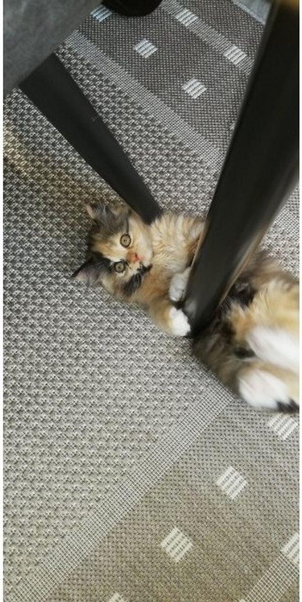 Ragdoll Birma Kitten