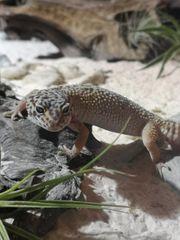 Suche Leopardgecko mädls