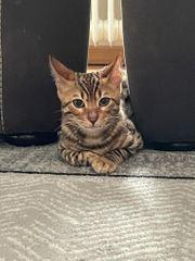 Bengal Kitten 4 Monate alt
