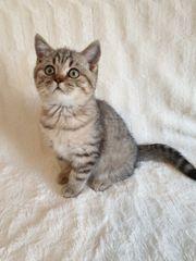 Reinrassige BKH Kitten sofort zur