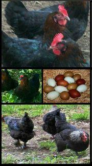 Rassegeflügel Marans Hühner Original Junghühner