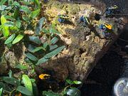 Dendrobates Tinctorius Patricia u Brasilianer