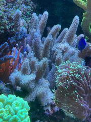 Sinularia Mollis Weichkorallen Meerwasser Fingerlederkoralle