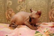 Liebevolle canadian sphynx kitten