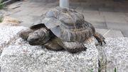 Maurische Landschildkröte geb 08 2002