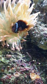 Annemonenfisch Adult 1 0