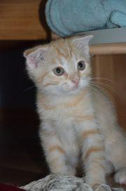 Wunderschöne MIX Scottich Fold Babykatzen