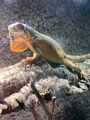 Leguan Iguana Iguana