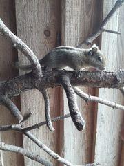 Chin Baumhörnchen Baumstreifenhörnchen zu verkaufen