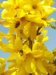 Biete Forsythie Gelbe Ostersträuche Pflanzen
