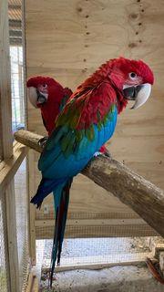 Grünflügel Ara Paar