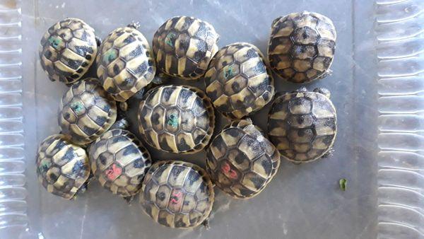 Nachzuchten 2020 Griechische Landschildkröten Thb