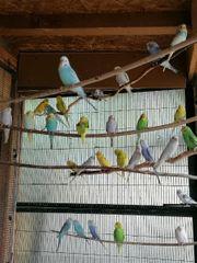 Junge Nestjunge Wellensittiche