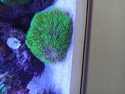 Briareum Koralle Neonhaar