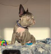 Französische Bulldogge Rüde zu verkaufen