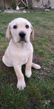 Sehr Süße Labrador Welpe sucht