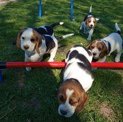 reinrassige Beaglewelpen suchen ab dem