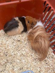Zwei weibliche mehrschweinchen mit Käfig