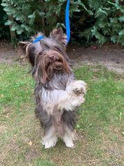 Schoko Yorkshire Terrier Rüde