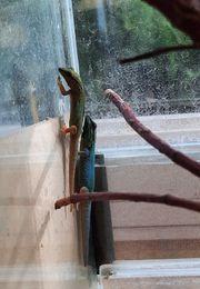 Lygodactylus williamsi--Himmelblauer Zwerggecko