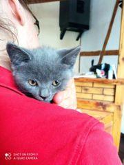 BKH Kitten letzte