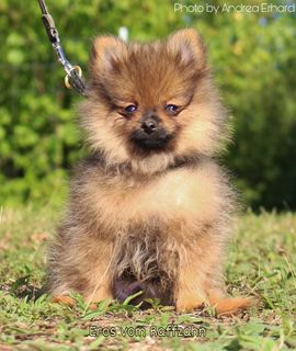 Zwergspitz Pomeranian In Illingen Hunde Kaufen Verkaufen Auf Quoka De