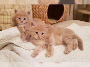 Wunderschöne Maine Coon Babys