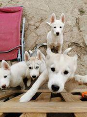 5 Husky Welpen suchen neues