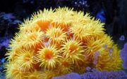 meerwasser ablegerTubastraea faulkneri Orange-gelbe Kelchkoralle