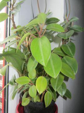 Ficus Alii Efeutute Fensterpflanze Ufopflanze: Kleinanzeigen aus München Schwabing-West - Rubrik Pflanzen