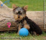 Zierliche Yorkshire Terrier Welpen