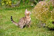 Ragdoll Kätzchen