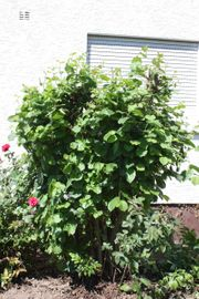 Haselnussbaum Haselnussblätter Haselnussäste Haselnusszweige Knabberholz