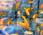Goldfisch gelb 7-10 cm