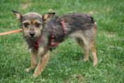 Chihuahua Terrier Mix Hündin