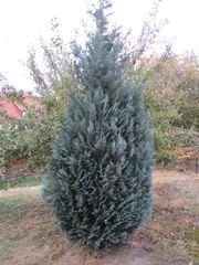 Zypresse Wacholder-Baum Busch ca 4m hoch