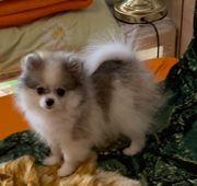 Mini Pomeranian Junge spitz