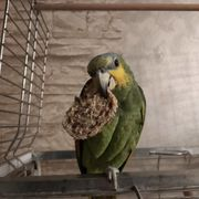 Venezuela Amazone Papagei