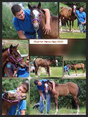 Quarter Horse Hengstfohlen mit einem