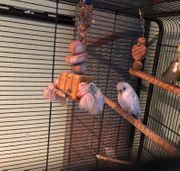 Wellensittich mit XL Vogelvoliere Vogelkäfig