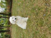 Süßer lieber Kuvasz welpe hirtenhund