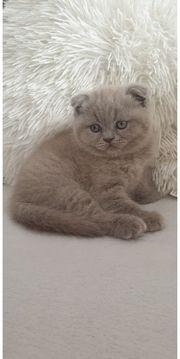 Scottish Fold Kitten Junge in