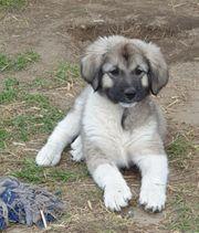 Kaukasen Owescharka Welpen Herdenschutzhunde