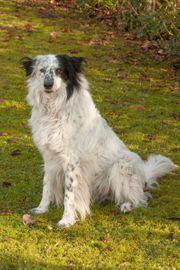Louisi 5 Jahre - Collie-Aussi-Mix - Tierhilfe