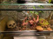Terrarium mit Schmuckhornfrosch Camouflage komplett