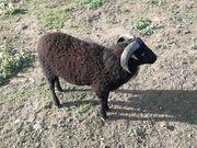 Ouessant Quessant Mini Schafe Bock
