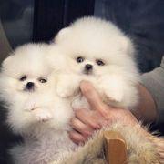 Schöne Pomeranian Welpen zu verkaufen